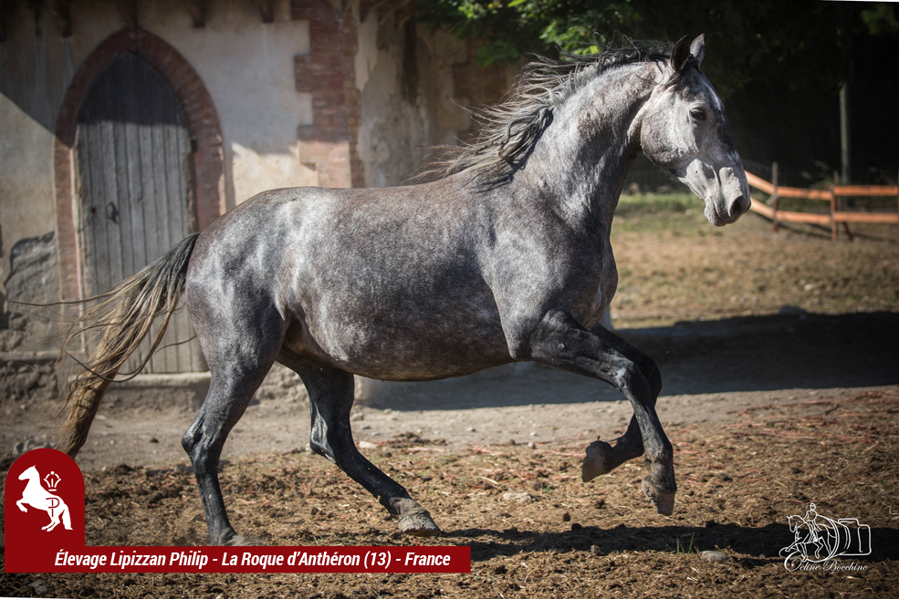 Elevage-LIPIZZAN-PHILIP-Crema-Favory-Kentia2
