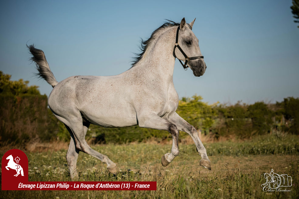 Elevage-LIPIZZAN-PHILIP-Quasi-Favory-Graina-2