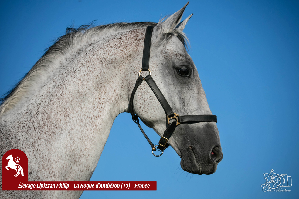 Elevage-LIPIZZAN-PHILIP-Quasi-Favory-Graina-20